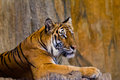Portrait of amur tigers at chonburi thailand Royalty Free Stock Image