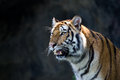 Portrait of amur tigers at thailand Royalty Free Stock Photos