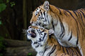 Portrait of amur tigers at thailand Stock Photography
