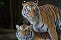 Portrait of amur tigers at thailand Stock Photo