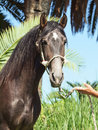 Portrait of Andalusian grey  stallion Royalty Free Stock Photos