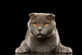 Portrait of Angry British fold Cat on Black Royalty Free Stock Photo
