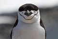 Portrait of Antarctic penguin Chinstrap or Antarctic summer Royalty Free Stock Photo