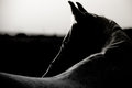 Portrait of an Arabian Horse Royalty Free Stock Photo