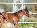 Portrait of arabian little foal. Israel Royalty Free Stock Photo