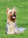 The portrait of australian silky terrier on a green grass lawn in garden Royalty Free Stock Photos