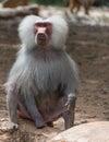 Portrait Of Baboon Monkey Nature