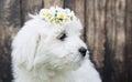 Portrait Baby Dog Coton De Tul...
