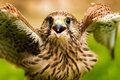 Portrait of a baby falcon Royalty Free Stock Image