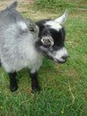 Portrait of a Baby Pygmy Goat Stock Photo