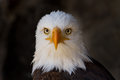 Portrait of a bald eagle close up Royalty Free Stock Photos