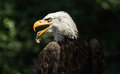 Portrait of a bald eagle (lat. haliaeetus leucocephalus) Royalty Free Stock Photo