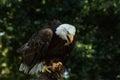 Portrait of a bald eagle (lat. haliaeetus leucocephalus) Royalty Free Stock Photo