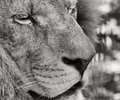 Portrait of a barbary lion panthera leo leo black and white photo Stock Photo