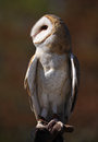 Portrait of Barn Owl Royalty Free Stock Photography