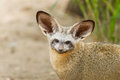 The portrait of bat eared fox stare to the camera Royalty Free Stock Photos