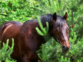 Portrait of bay horse in pine tree Royalty Free Stock Photo
