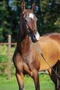 Portrait of bay purebred akhalteke mare Royalty Free Stock Photo