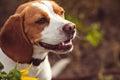 Portrait Of Beagle Dog