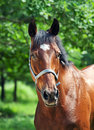 Portrait of beautiful bay  mare Royalty Free Stock Photo