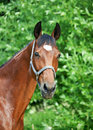 Portrait of beautiful bay  mare Royalty Free Stock Image