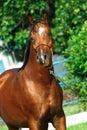 Portrait of beautiful bay young  arabian stallion Royalty Free Stock Photo