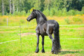 Portrait beautiful black stallion on the pasture Royalty Free Stock Image