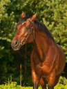 Portrait of  beautiful breed stallion around pine Stock Images