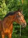 Portrait of  beautiful breed stallion around pine Stock Image