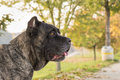 Portrait of beautiful Cane Corso dog standing outdoors