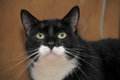 Portrait of a beautiful cat handsome black and white big Stock Photos