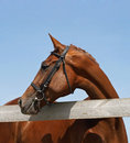 Portrait beautiful chestnut horse on a background blue sky Royalty Free Stock Photo