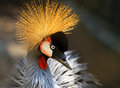 Portrait beautiful crowned crane bird backlit sun Stock Image