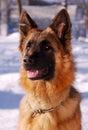 Portrait of beautiful fluffy German shepherd dog Junior puppy  in a winter snowy field.  nine months age Royalty Free Stock Photo