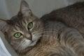 Portrait beautiful grey cat green eyes