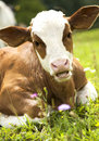 Portrait of a beautiful heifer Royalty Free Stock Photo