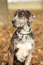 Portrait of beautiful louisiana catahoula dog in autumn Stock Photography