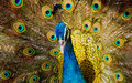 Portrait of beautiful peacock close up showing its feathers Royalty Free Stock Images