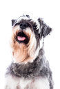 Portrait of a beautiful schnauzer dog head with salt and pepper colouring panting and looking at the camera with an alert Stock Photos