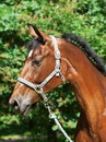 Portrait of beautiful sportive bay mare Royalty Free Stock Photo