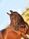 Portrait of beautiful trakehner bay stallion Royalty Free Stock Photo