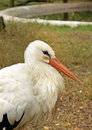 Portrait of beautiful white stork at zoo Royalty Free Stock Photo