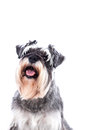 Portrait of a beautifully groomed schnauzer sitting looking at the camera with an alert expression isolated on white Stock Image