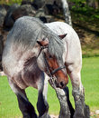 Portrait of Belgian draught horse. Royalty Free Stock Photo