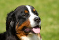 Portrait of Berner Sennenhund Royalty Free Stock Photos
