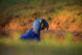 Portrait big blue parrot Hyacinth Macaw, Anodorhynchus hyacinthinus, with drop of water on the bill, Pantanal, Brazil, South Ameri
