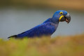 Portrait of big blue parrot Hyacinth Macaw, Anodorhynchus hyacinthinus, Pantanal, Brazil, South America