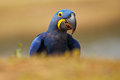 Portrait big blue parrot Hyacinth Macaw, Anodorhynchus hyacinthinus, Pantanal, Brazil, South America