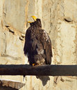 Portrait of big sea eagle haliaeetus albicill Royalty Free Stock Images