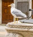 Portrait of a big seagull